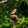 Commom Redstart