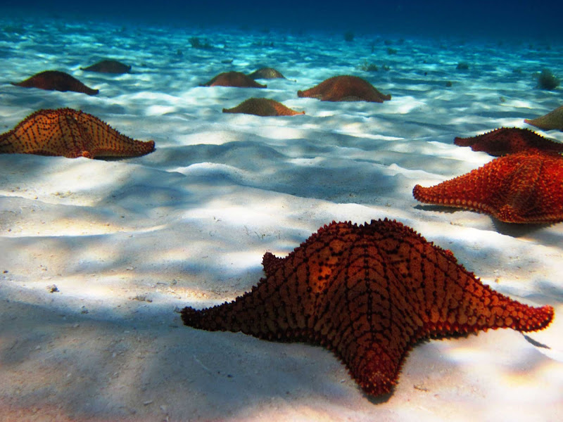 Look but don't touch! An amazing colony of sea stars, or starfish, in a Cozumel lagoon.