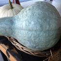 Blue hubbard squash