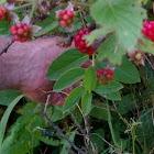 Virginia blackberry bush