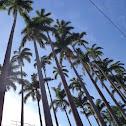 Palmeira imperial (Palm imperial)