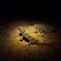 Brook's Gecko(Juvenile)