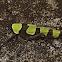 Soldier False-Leaf Katydid