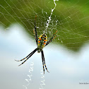 Argiope catenulata