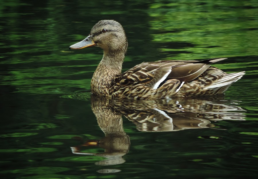 Ducky Day by Christian Tiboldi - Animals Birds ( water, reflection, waterscape, green, duck, reflections, lake, birds, reflect,  )