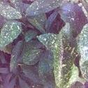 gold dust plant