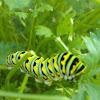 Black Swallowtail Butterfly (caterpillar/larva)