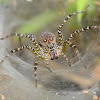 Indian funnel web spider