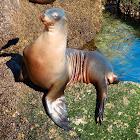 California Sea Lion (Female)