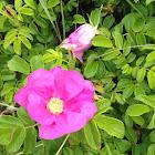 wild sea rose