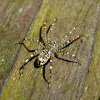 White Spotted Spider