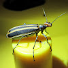 Striped Blister Beetle