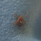 Lone Star Tick, female