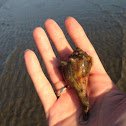 Knobbed Whelk?