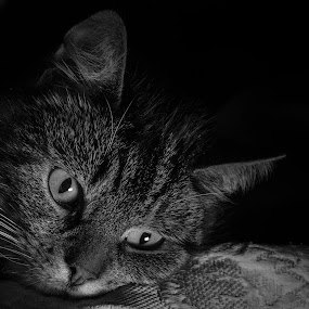 Observation by Serge Thonon - Animals - Cats Portraits ( animaux )