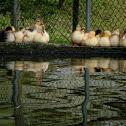 Pato criollo (Muscovy duck)