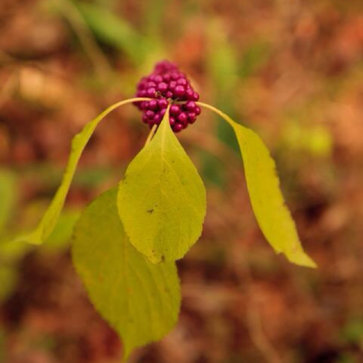 American Beautyberry; French Mulberry