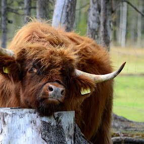 a real good scratch by Kristin Smestad - Animals Other ( skotsk hoylandsfe, ku, scottich highlander, cow, highland cattle,  )