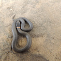 Prairie ring neck snake