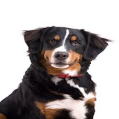 Bernese Mountain Dog Info