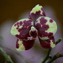 Orquídea Phaleonopsis híbrida