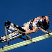 Grasshopper Jigsaw Puzzle