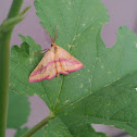 Chickweed Geometer (Male)