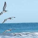 Pelikan or Pelican