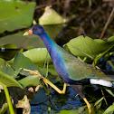 American Purple Gallinule