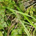 Lagarto verdinegro, Iberian Emerald Lizard