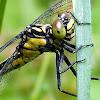 Southern Pygmy Clubtail Dragonfly