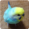 Budgerigar Sounds for Parakeet icon