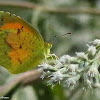 Sleepy orange sulphur