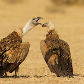 Can you hear me?? by Angad Achappa - Animals Birds ( animals, nature, griffon vulture, wildlife, eurasian griffon, birds, indian birds,  )
