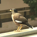Common myna or Indian myna