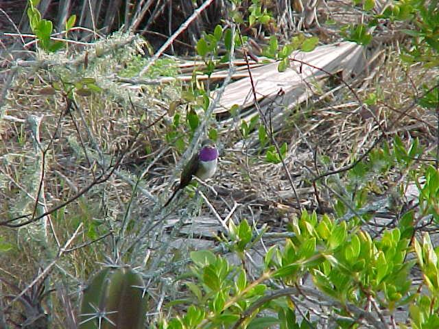 Colibrí tijereta, eliza hummingbird