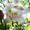 Crinum × powellii
