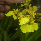 Kandyan dancer flower