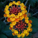 Spanish Flag or West Indian Lantana