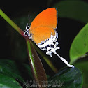 Branded Imperial Butterfly