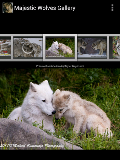 Majestic Wolves Gallery