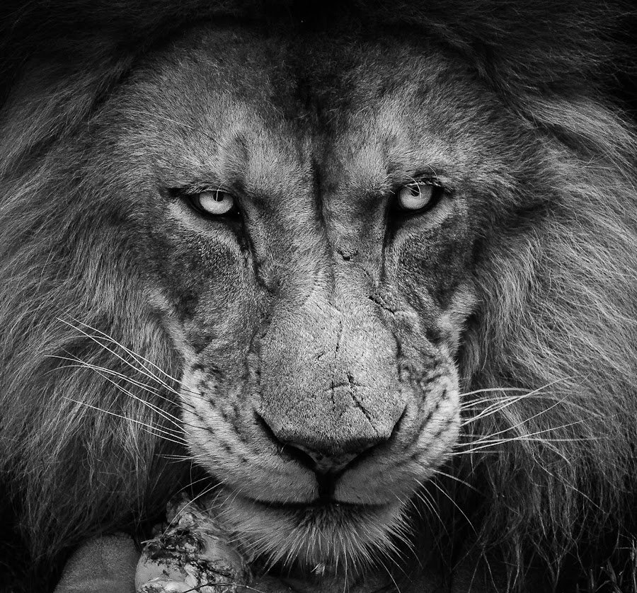by Dave Harper - Black & White Animals ( monochrome lion big cat moody mean, black and white,  )