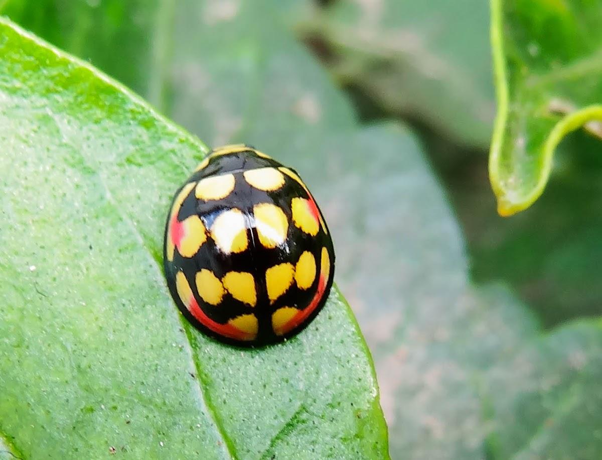 Sulfurous Ladybug