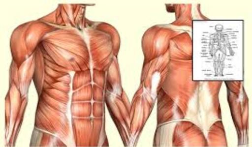 Human Anatomy Physiology Wiki