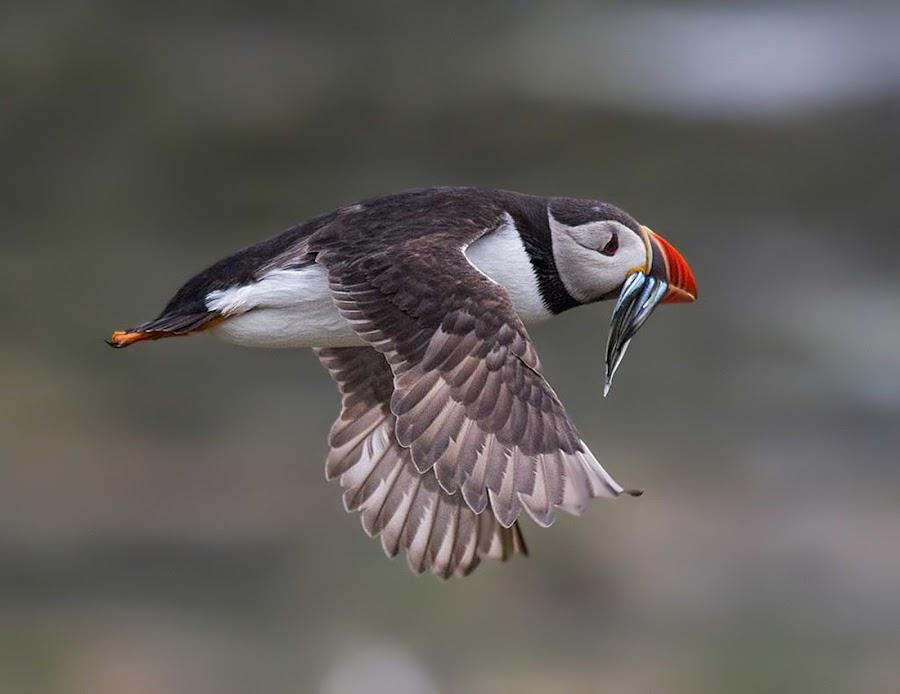 Flying Puffin by Tim Nicholson - Animals Birds