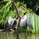 Anhinga or Snake bird