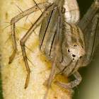 Papuan Lynx spider