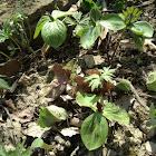 Sessile Trillium