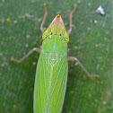 Plant-hopper