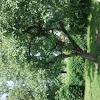 Apfelbaum (Appletree)